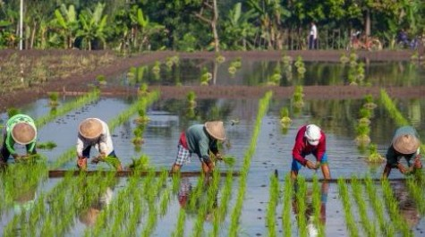 people in rice field